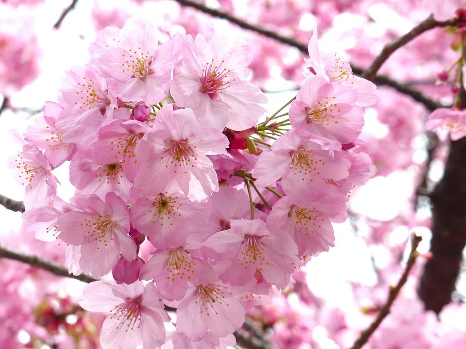 Sakura (fleur de cerisier)